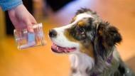 Feines Näschen: Molly wird mit Hilfe einer Geruchsprobe zum Diabetiker-Warnhund ausgebildet.