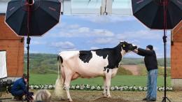Ein Visagist für die Kuh