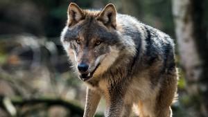 Unbekannte erschießen Wolf in der Lausitz