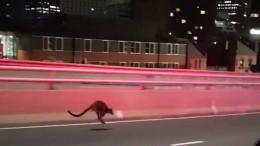 Kleines Känguru löst Polizeieinsatz aus