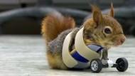 Prothese für kleines Eichhörnchen