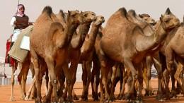 Wenn Kamele Botox gespritzt bekommen
