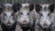 Schweineleben: Trotz intensiver Bejagung vermehrt sich das Schwarzwild – hier in einem Tiergehege nahe Klaistow (Brandenburg) – prächtig.