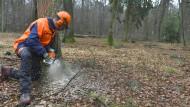 Schneidig: ein Holzfäller bei der Arbeit