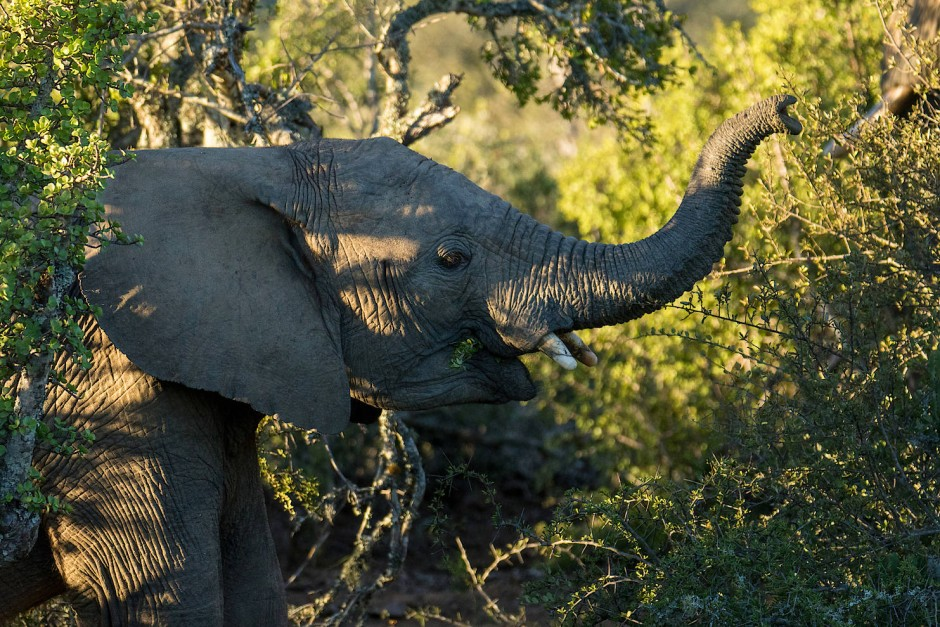 Ließe man der Natur freie Hand, hätten die Elefanten schnell alle Akazien aufgefressen.