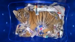 Tigerbaby in Container entdeckt