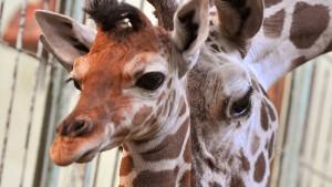 """Frankfurter Zoo schläfert Giraffe """"Chiara"""" ein"""