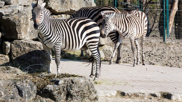 Die Zebras trotzen dem Frost