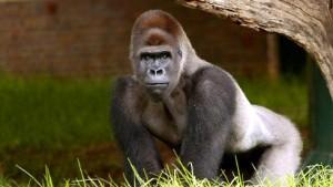 Populärer Gorilla vom Main erhält Denkmal in Johannesburg
