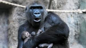 Gorilla-Junges starb an schwerer Infektion