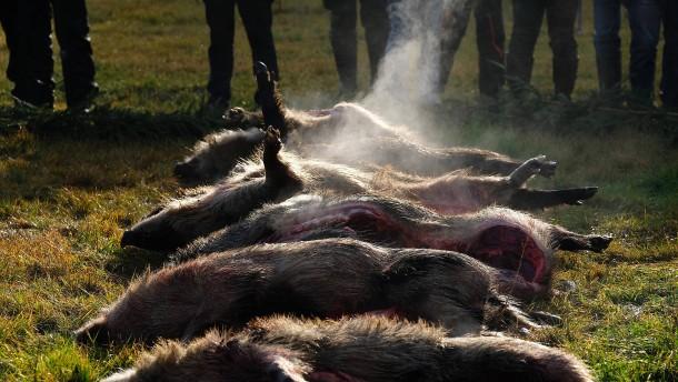 Wappnen gegen die Schweinepest