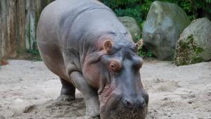Zoo Frankfurt will Flusspferddame abgeben