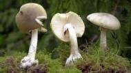 Stehen lassen: der Verzehr des Grünen Knollenblätterpilzes ist lebensgefährlich