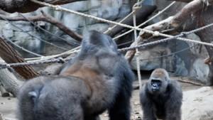 Nachwuchs bei Gorillas in Sicht