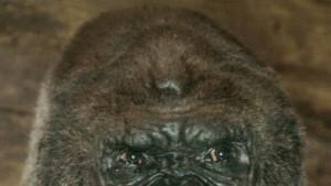 Der älteste gezüchtete Gorilla der Welt tot