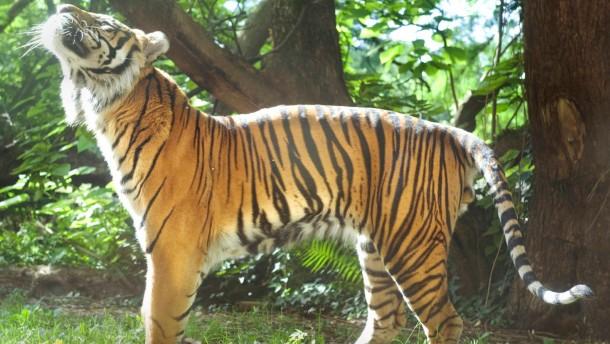 Schwerkranker Tiger Iban eingeschläfert