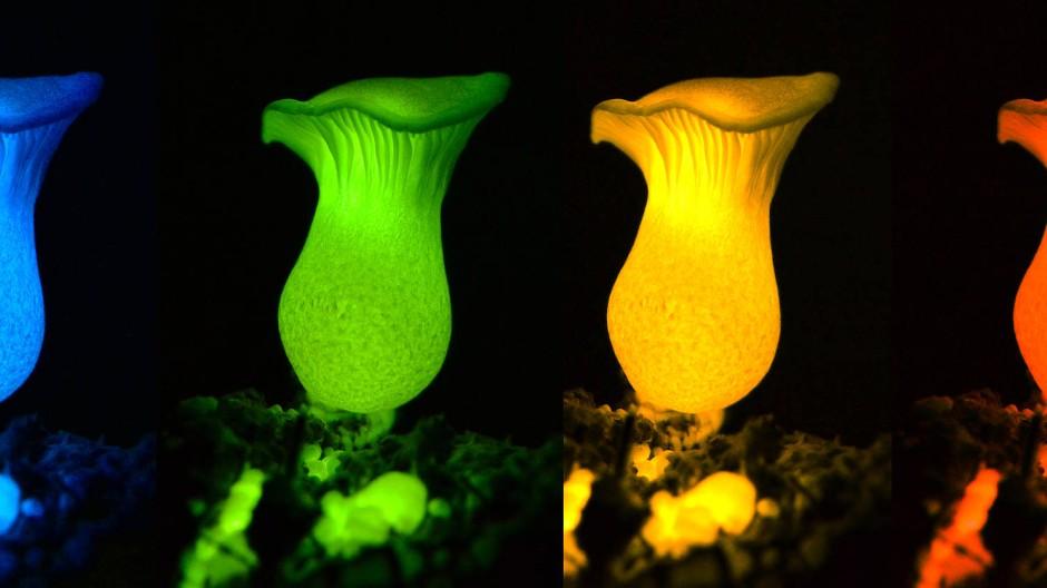 Die natürlich leuchtenden Pilzfruchtkörper strahlen grünes Licht ab. Der Techniker aus dem Pilzlabor der Universität São Paulo hat schon mal neue Farbvarianten entwickelt.