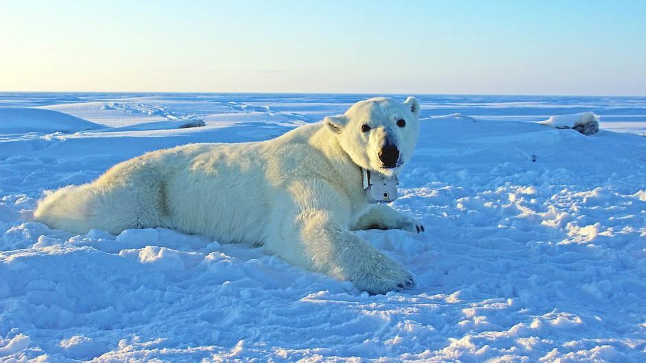 Eins der Eisbären-Weibchen, die mit GPS-Sender und Video-Kamera-Halsband ausgerüstet wurden.