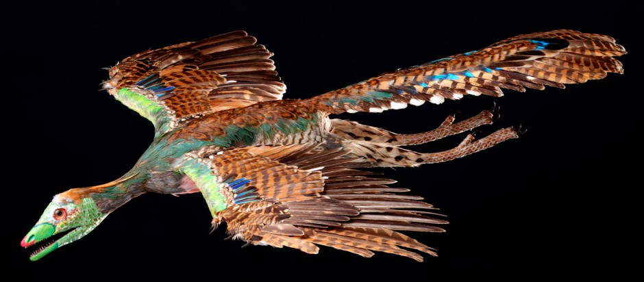 Eine ältere Rekonstruktion des Urvogel Archaeopteryx Nr. 11 im Flug (Modell von R. Liebreich)