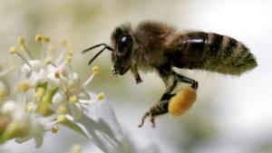 Bienensterben: Sollten Insektizide verboten werden?