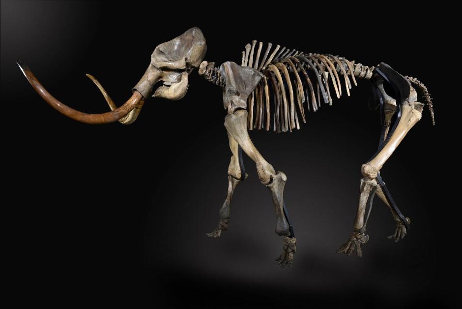 Mammut-Skelett.