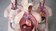 Das anatomische Modell eines Menschen, ausgestellt in der Medizinischen Hochschule Hannover.